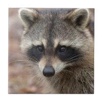 Raccoon, Procyon lotor, Florida, USA 3 Tile
