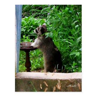 Raccoon  Raiding Bird Feeder Postcard Postcards