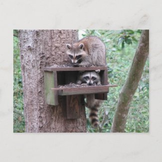 Raccoon Rascals Postcard