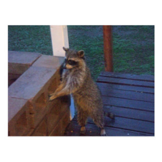 Raccoon Standing on Back Porch Postcard