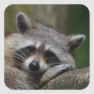 Raccoon Square Stickers