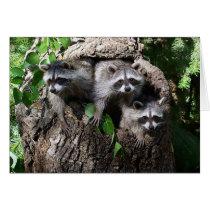 Raccoon - The Three Amigos