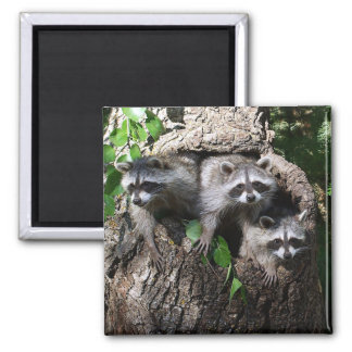 Raccoon - The Three Amigos 2 Inch Square Magnet