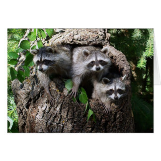 Raccoon - The Three Amigos Card