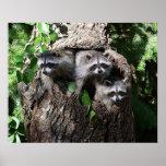 Raccoon - The Three Amigos Poster