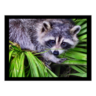 Raccoon Wildlife Photography Posters
