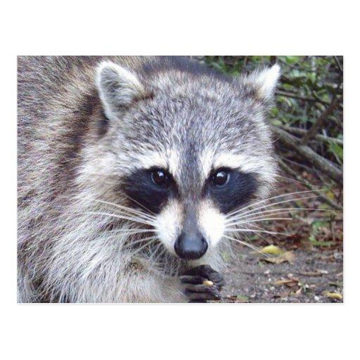 Raccoon Wildlife Series # 8 Postcard