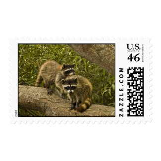 Raccoons Postage Stamp