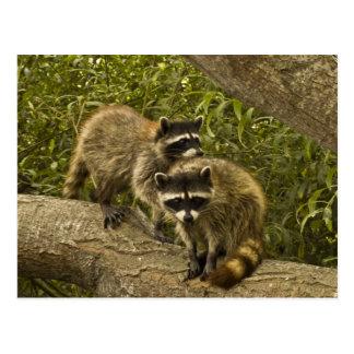 Raccoons Postcards