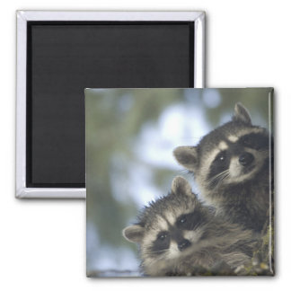Raccoons Procyon Lotor) of Fish Lake, Central 2 Inch Square Magnet