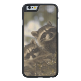 Raccoons Procyon Lotor) of Fish Lake, Central Carved Maple iPhone 6 Slim Case