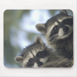 Raccoons Procyon Lotor) of Fish Lake, Central Mouse Pad