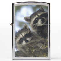 Raccoons Procyon Lotor) of Fish Lake, Central Zippo Lighter
