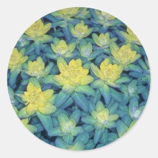 racimo amarillo amarillo, (euforbio Polychroma) Pegatina Redonda