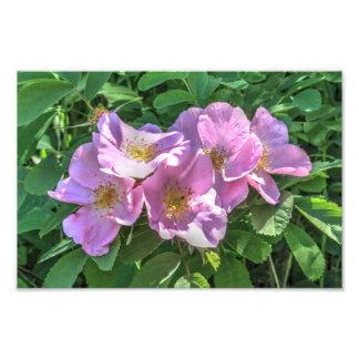 Racimo color de rosa salvaje fotografías