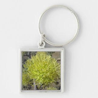 Racimo de flor gigante del agavo llavero cuadrado plateado