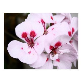Racimo de flores blancos y rosados bonitos del tarjeta postal