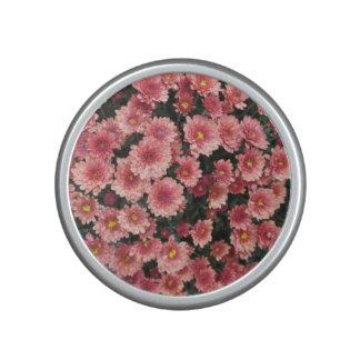 Racimo rosado asombroso del crisantemo altavoz