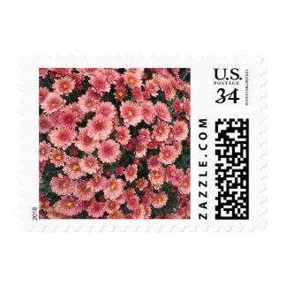 Racimo rosado asombroso del crisantemo envio