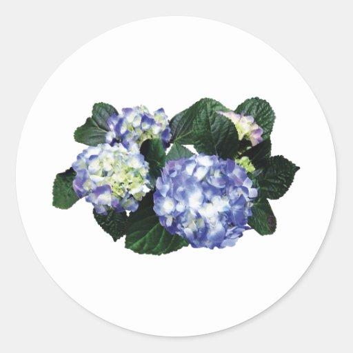Racimos de Hydrangea púrpura Pegatinas