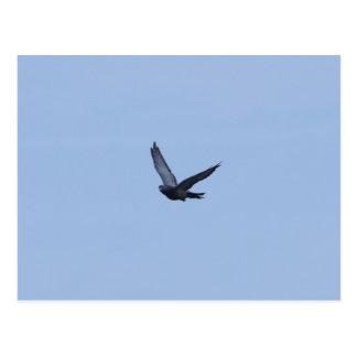 Racing Pigeon Coming Home Postcard
