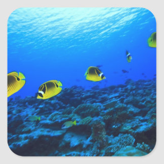 Racoon Butterflyfish Chaetodon lunula), North Square Sticker