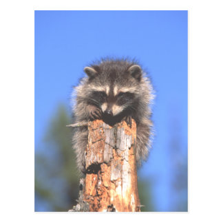 Racoon on Stump Postcard