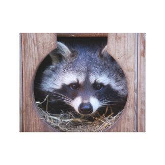 Racoon raccoon canvas print