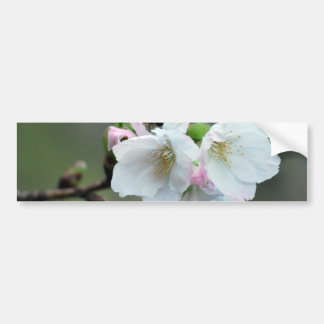 Radiant cherry blossom bumper sticker
