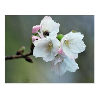 Radiant cherry blossom postcard