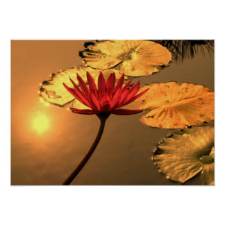 Radiant Water Lily with the Sun Reflecting Poster