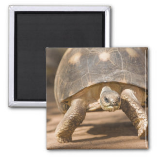 Radiated tortoise, Astrochelys radiata, with a 2 Inch Square Magnet