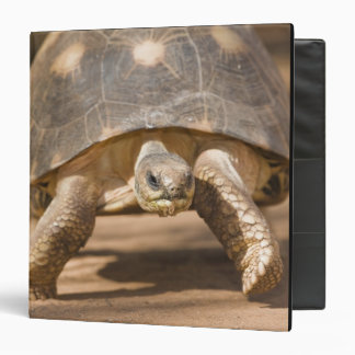 Radiated tortoise, Astrochelys radiata, with a Binder