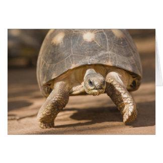 Radiated tortoise, Astrochelys radiata, with a Card