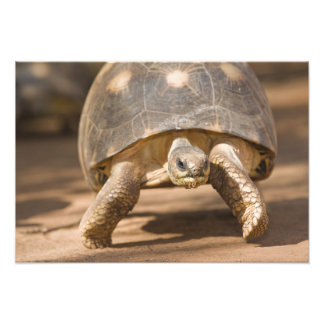 Radiated tortoise, Astrochelys radiata, with a Photo