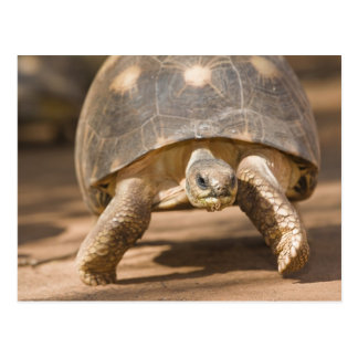 Radiated tortoise, Astrochelys radiata, with a Postcard