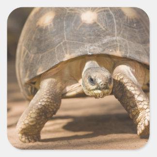 Radiated tortoise, Astrochelys radiata, with a Square Sticker