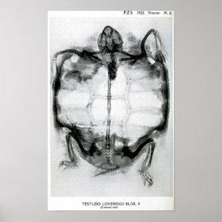 Radiografía del vintage de la tortuga poster