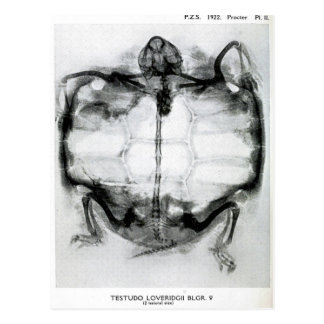 Radiografía del vintage de la tortuga postales