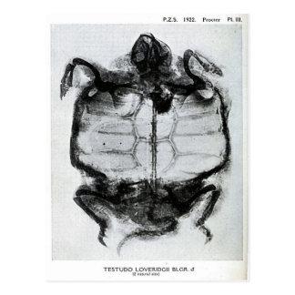 Radiografía del vintage de la tortuga tarjetas postales