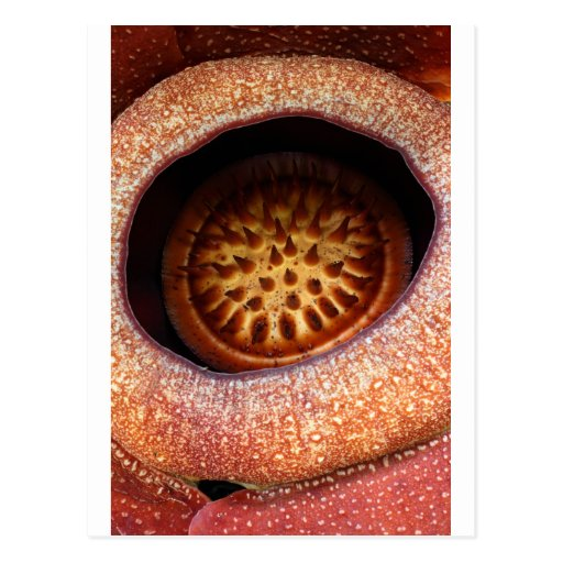 Rafflesia orange flower postcard