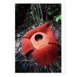 Rafflesia parasitic flower postcard