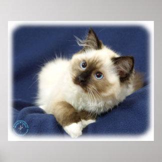 Ragdoll Cat 9W082D-011 Poster