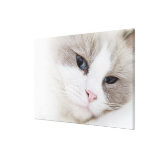 Ragdoll cat gallery wrapped canvas