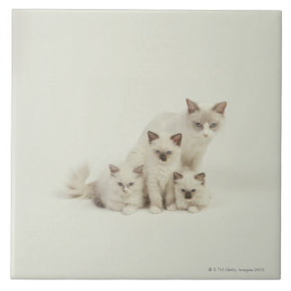 Ragdoll cat female with kittens large square tile