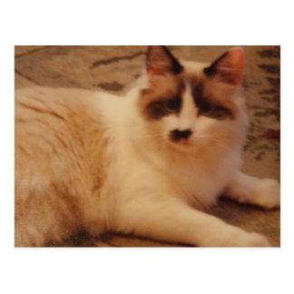 Ragdoll cat Fifi Postcard