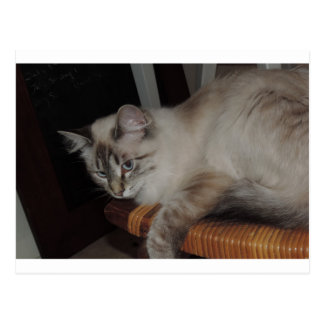 Ragdoll Cat Kitten Original Photo Design Postcard