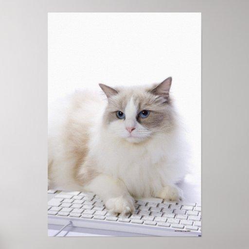 Ragdoll cat on computer keyboard poster