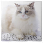 Ragdoll cat on computer keyboard tiles