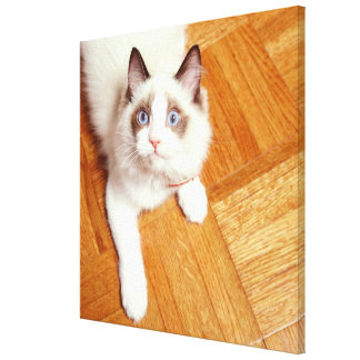 Ragdoll cat on floor, elevated view canvas print